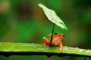 frog with leaf umbrella