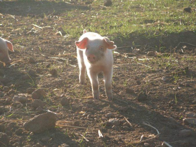 animals at trevaskis farm