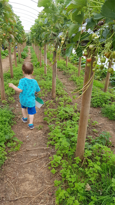 Strawberry picking at Trevaskis Farm