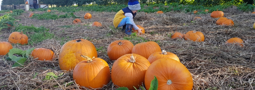 Trevaskis Farm pumpkin patch 2019