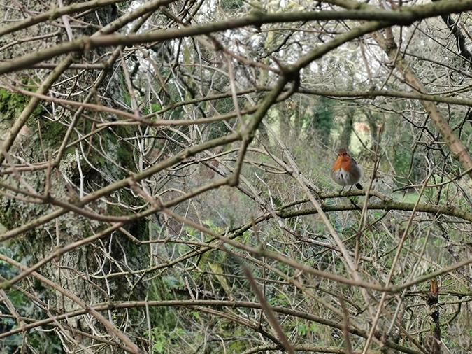 Robin in a tree, 2019